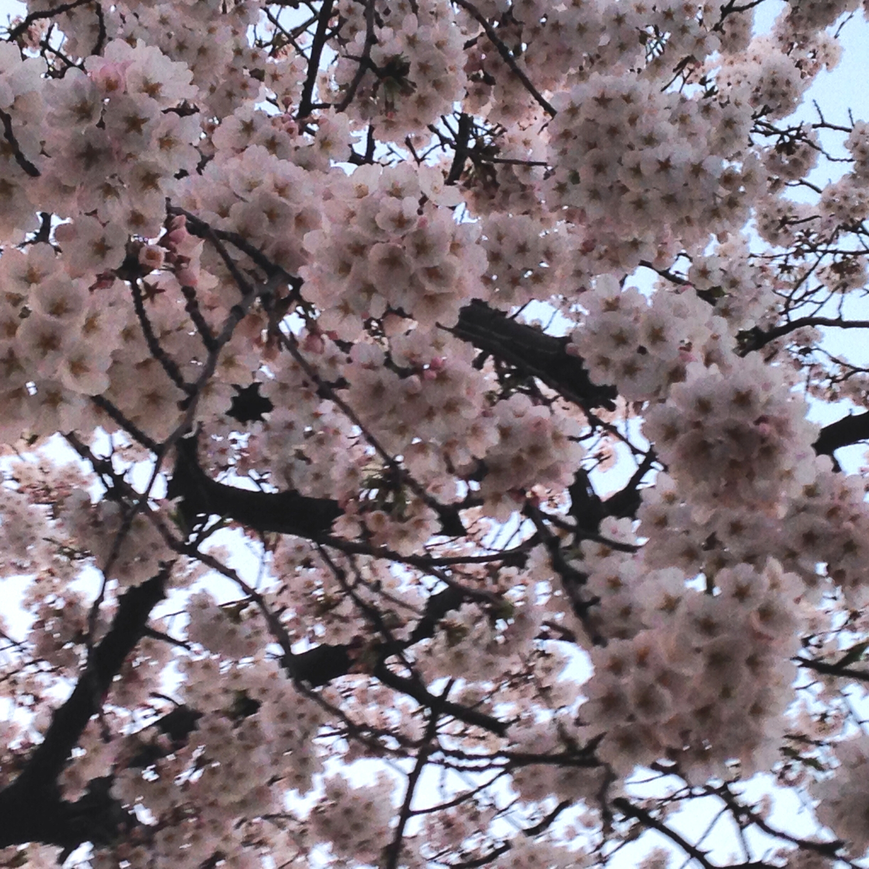 Cherry Blossoms 2015 It Started With Hangul