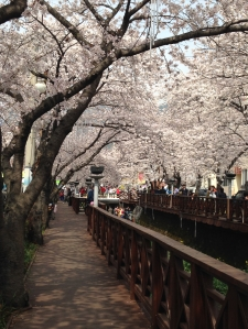 2015 Cherry Blossoms Jinhae